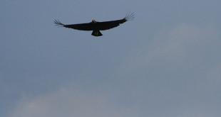 Zamuro volando